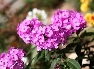 Was Bedeutet Pflegeleicht : phlox im garten gestaltungstipps f r die flammenblume gartenpflanzen garten ~ Markanthonyermac.com Haus und Dekorationen