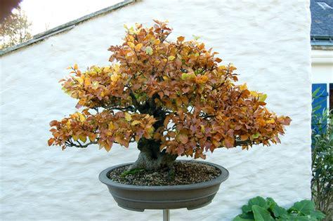quel pot pour mon h 234 tre breton c 233 ramique et poteries forums parlons bonsai