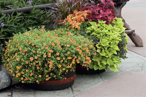 Calibrachoa  Spectacular Container Gardening Ideas