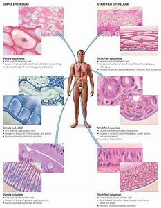 Epithelial Tissue Location In The Body | MedicineBTG.com