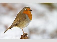 National Bird Of England European Robin 123Countriescom