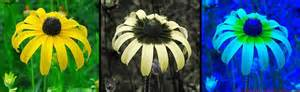 are bees color blind photography of the invisible world rudbeckia