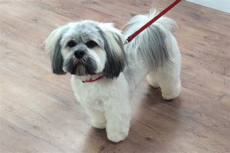 lhasa apso grooming pictures breeds picture