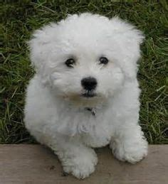 1000 images about my future puppy on poodle