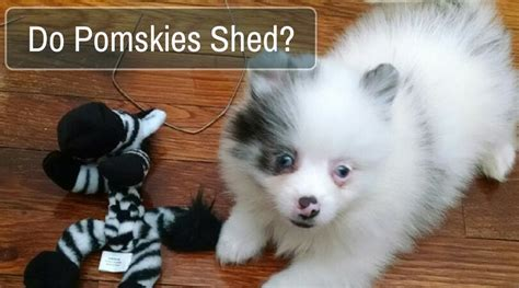Do Pomskies Shed Fur how much do huskies shed 100 images coated
