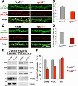 VPS35-deficiency results in an impaired AMPA receptor ...