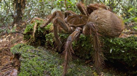 un entomologiste raconte ses rencontres avec la plus grande araign 233 e du monde