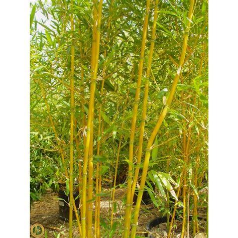 phyllostachys aurea fishpole bamboo the pot grass company
