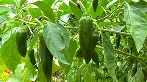 Paprika Pflanzen Pflege : paprika gartennatur ~ Markanthonyermac.com Haus und Dekorationen