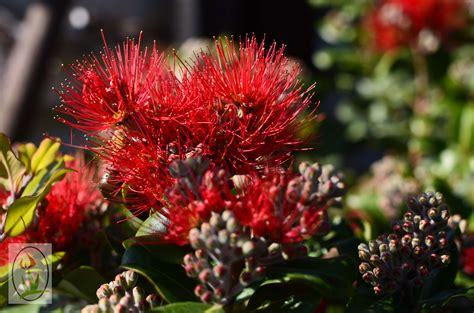 Australian Native Plants  Blooming Nursery