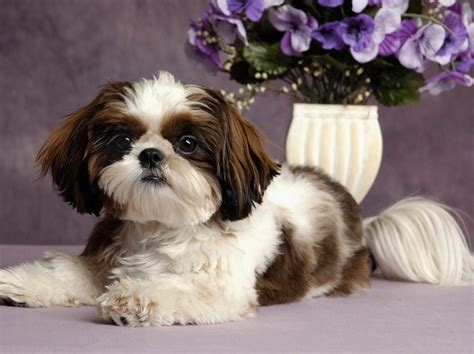 small white non shedding breeds non shedding small mixed breed dogs image breeds picture