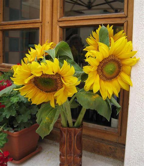 cultiver des tournesols culture semis et entretien des tournesols pratique fr