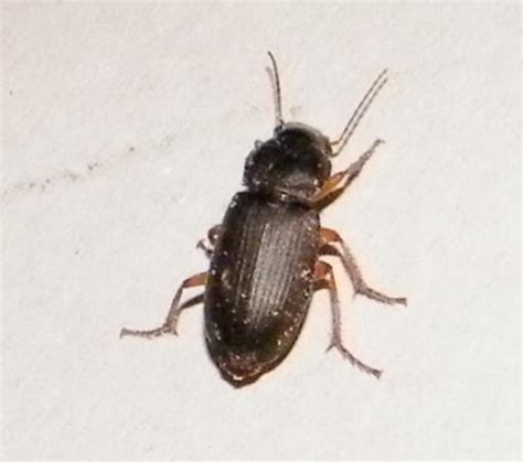 pseudoophonus rufipes de petites b 234 tes help le monde des insectes