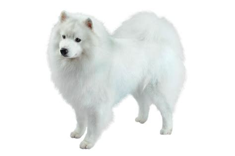 american eskimo shedding problems myideasbedroom