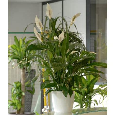 plante d int 233 rieur spathiphyllum pot blanc vente plante d int 233 rieur spathiphyllum pot