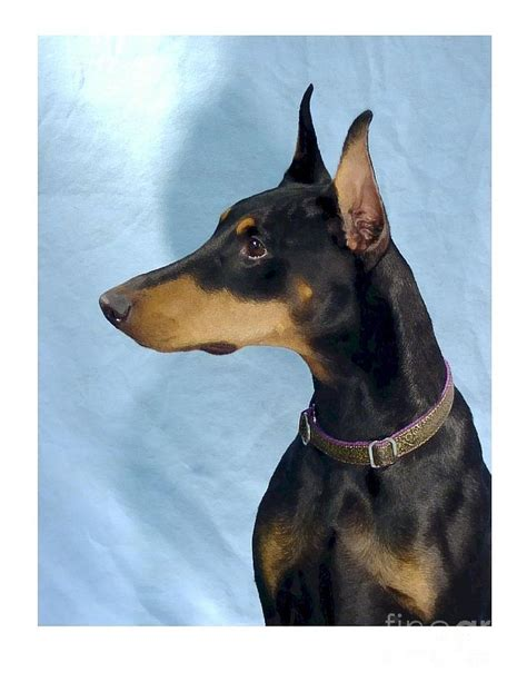 miniature pinscher mix puppy for sale in houston photo breeds picture