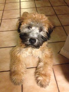 soft coated wheaten terrier non shedding great family dogs about animals