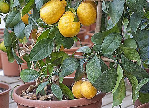 la culture d un citronnier en pot