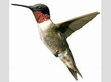 Free Hummingbird PNG Transparent Images, Download Free