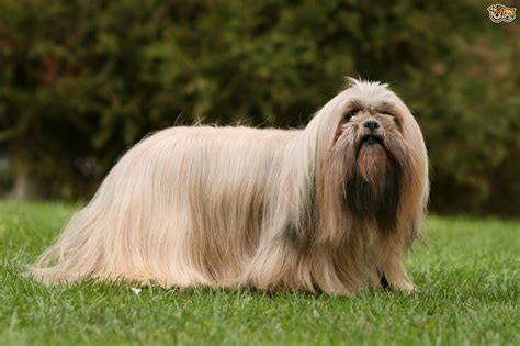 lhasa apso breed information buying advice photos and more pets4homes
