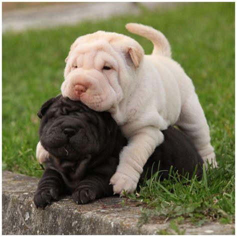 do shar pei dogs shed hair shar pei breeders facts pictures puppies rescue