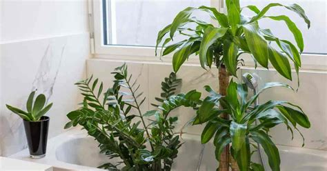 17 best bathroom plants how to use how to choose no light or upright