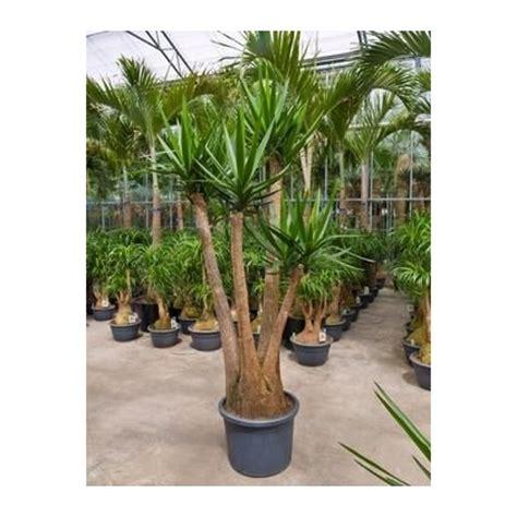 yucca elephantipes ramifi 233 220 cm racyne