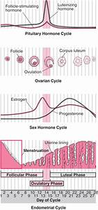 Menstrual Cycle - Women's Health Issues - Merck Manuals ...