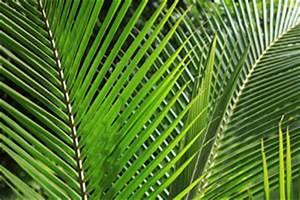 Zimmerpflanze Lange Grüne Blätter : kokospalme pflege als zimmerpflanze ~ Markanthonyermac.com Haus und Dekorationen