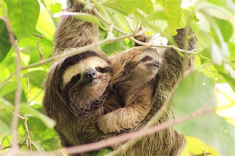 Mom And Baby Sloth Pictures To Pin On Pinterest How To Do Long Hair Wedding Hairstyles Ways Style Thin Straight Short For Asian Face Platinum Blonde Looks Pics Of Natural Curly Haircut Styles Round Faces New Trends Cute Easy Messy