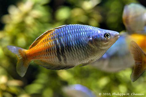 top 10 des plus beaux poissons d eau douce maganimal