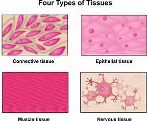 Human Body Tissues