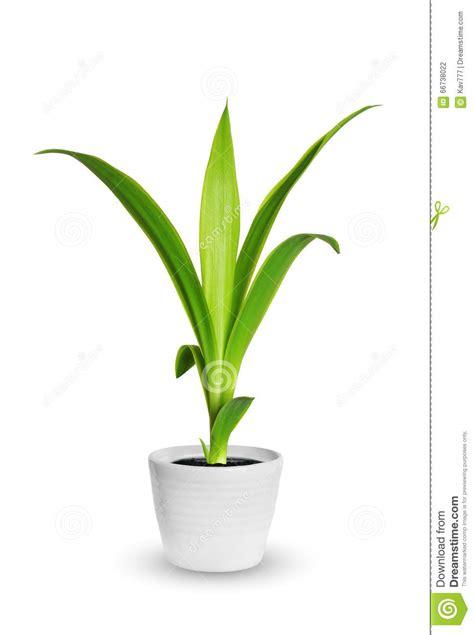 plante d int 233 rieur pousse de yang de yucca une usine mise en pot d isolement au dessus de w