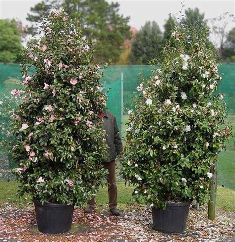 camellia sasanqua plantation pink reference dscn pot litres 茶梅 camellia sasanqua