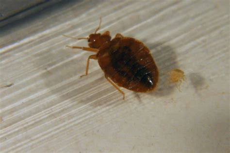 are bed bugs contagious could this pest be carrying contagious superbugs