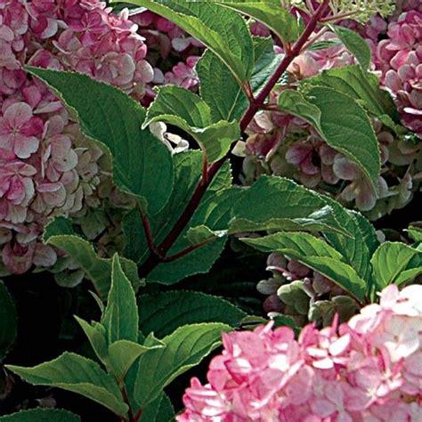 hortensia paniculata vanille fraise un hydrangea arbustif 224 panicules et blanc