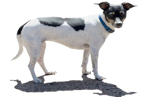 rat terrier excessive shedding 100 images 100 rat