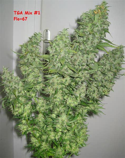 les vari 233 t 233 s de cannabis les plus productives du