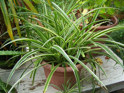 les plantes grasses d int 233 rieur le chlorophytum entretien facile sant 233 au travail