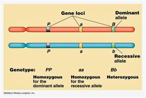 #127 Chromosomes, Dna, Genes And Alleles