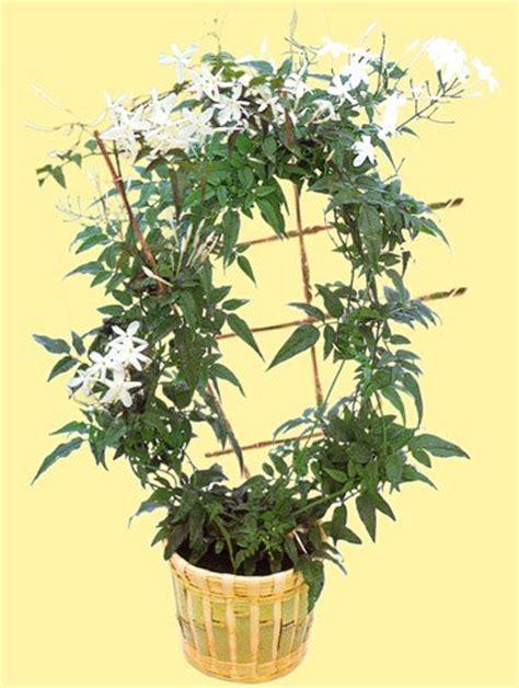 jasminum polyanthum en pot 28 images plantation et entretien du d 233 tente jardin blanc d