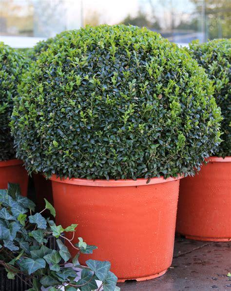 conseils et astuces pour planter des haies de buxus buis en terre ou en pot