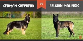 belgian malinois vs german shepherd shedding belgian malinois difference german shepherd breeds