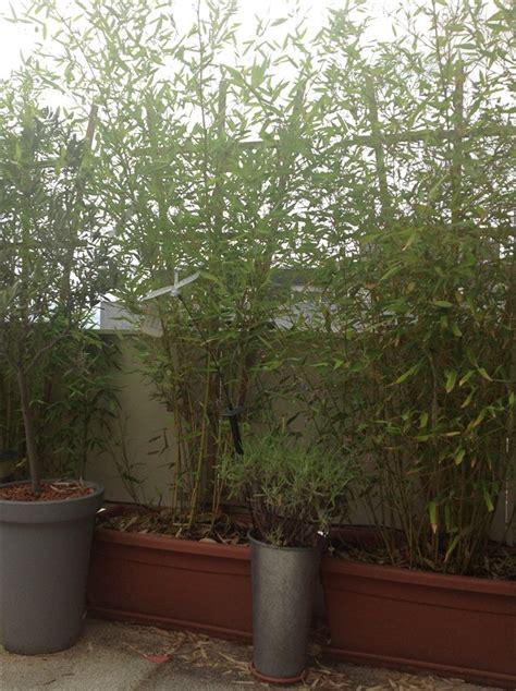 bambusa bissetii bambous jardins du nord forum r 233 gional site de conseils en jardinage
