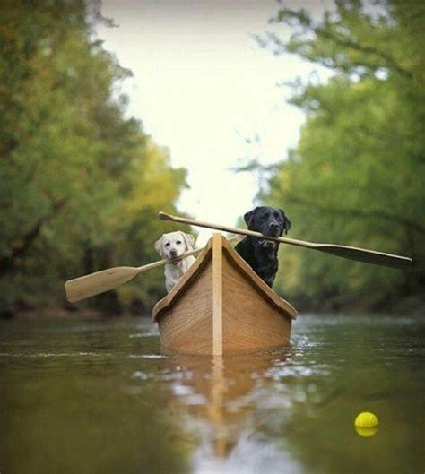 Boat Dog Quotes by Black Yellow Lab In Canoe Lab Photos Pinterest