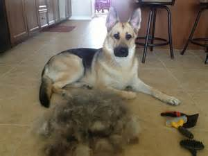 15 things you should never say to a german shepherd owner