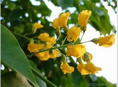 National Flower Of Myanmar Padauk 123Countriescom