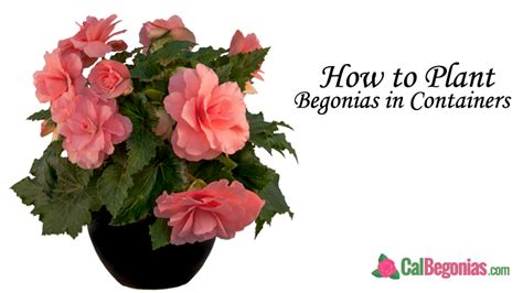 how to plant begonias in containers