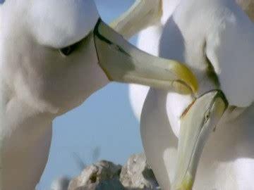 albatros hurleur faire sa toilette albatross island hd stock 143 674 605 framepool