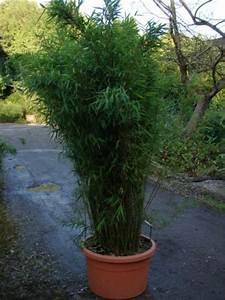 Bambus Im Garten : garten moy bambus pflanzen als sichtschutz fuer terrasse und balkon ~ Markanthonyermac.com Haus und Dekorationen